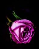 Rosa färgros Royaltyfria Bilder
