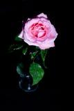 Rosa färgros i ett exponeringsglas Arkivfoto