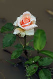Rosa färgros med daggdroppar Royaltyfri Foto