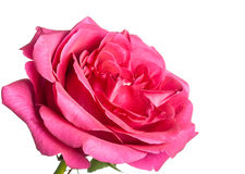 Rosa färgrosknopp Royaltyfri Foto