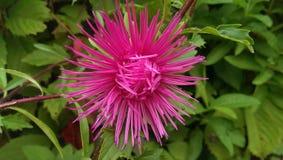 Rosa frische Blume im Garten Stockbild