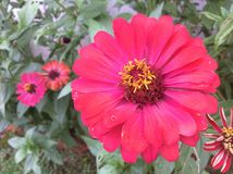 Rosa Fuchsia blommor Royaltyfria Foton