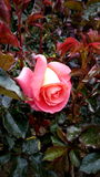 Rosa. Full color in a beautiful rose Royalty Free Stock Photo