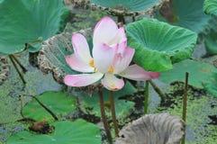 Rosa fullvuxen lotusblomma Arkivbild