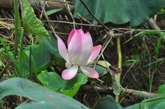 Rosa fullvuxen lotusblomma Royaltyfria Bilder