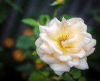 Rosa Fundo floral Imagem de Stock