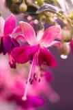 Rosa Fuschia Flowers Royaltyfri Bild