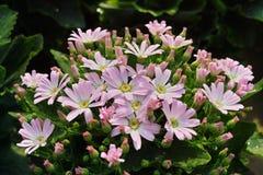 Rosa Gänseblümchen Stockfoto