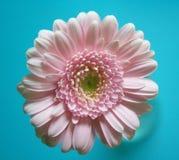 Rosa Gänseblümchen Stockfotografie