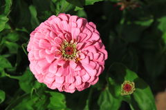 Rosa Gänseblümchen-Blume Stockbilder