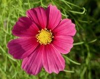 Rosa Gänseblümchen, Goldmitte Lizenzfreies Stockfoto