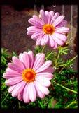 Rosa Gänseblümchenblumen mit Wassertropfen-Bürstenfilter lizenzfreie stockfotografie