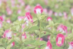 rosa gaffelbenblomma i trädgård arkivbild