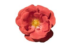 `Rosa gallica maxima` rose red flower isolated on white royalty free stock photo