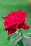 rosa Gammalt polart filter Arkivfoto