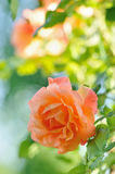 Rosa in Garden. Roses in Garden with Natural Blurred Background Royalty Free Stock Image