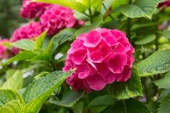 Rosa gardenia Arkivfoton