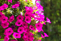 Rosa Garten-Petunie mit bokeh stockfoto