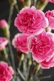 Rosa Gartennelke Stockbild