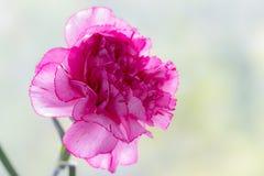 Rosa Gartennelke Lizenzfreie Stockfotos