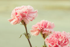 Rosa Gartennelke Lizenzfreie Stockbilder