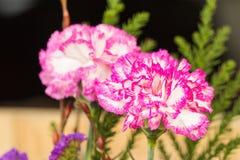 Rosa Gartennelke Stockfotografie