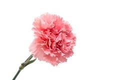 Rosa Gartennelke stockbilder