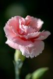 Rosa Gartennelke lizenzfreies stockbild