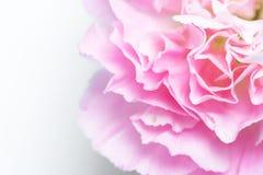rosa Gartennelke auf Wei? stockbilder