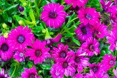rosa Gartennelke blüht Hintergrund lizenzfreie stockfotografie