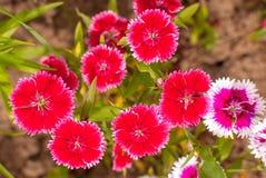 Rosa Gartennelke Dianthus und schöne Blumen chinensis stockbilder