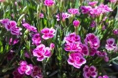 Rosa Gartennelke in einem Topf lizenzfreies stockbild