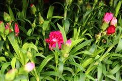 Rosa Gartennelke im Garten lizenzfreie stockfotos