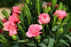 Rosa Gartennelke im Garten stockbilder