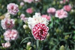 Rosa Gartennelke im Garten lizenzfreies stockbild