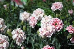 Rosa Gartennelke im Garten lizenzfreie stockbilder