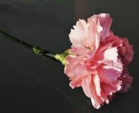 Rosa Gartennelke, Nahaufnahme stockfoto
