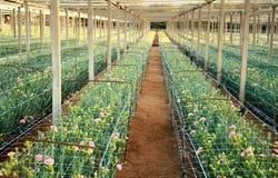Rosa Gartennelken, die auf einer Plantage wachsen Lizenzfreie Stockbilder