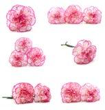 Rosa Gartennelkenblume lizenzfreie stockbilder