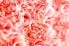 Rosa Gartennelkenblumenabschluß oben lizenzfreie stockfotos