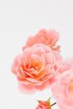 Rosa Gartenrosen schließen oben Stockfotos