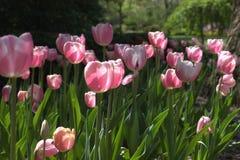 Rosa Gartentulpen der Gruppe Lizenzfreies Stockfoto