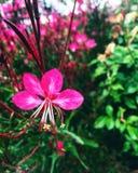 Rosa gaura Stockbild