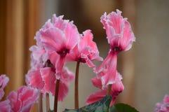 Rosa gekräuseltes Alpenveilchen Lizenzfreie Stockbilder