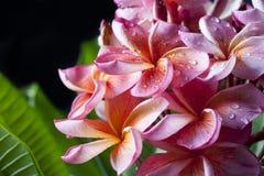 Rosa gelbe Plumeria-Blumen Stockbild