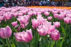 Rosa, gelbe Tulpen auf natürlichem Blumenhintergrund lizenzfreie stockfotografie
