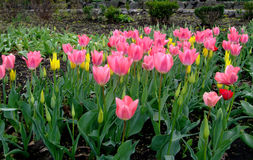 Rosa gelbe Tulpen wächst im Garten Stockfotos