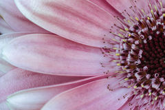 Rosa Gerbera Fotografering för Bildbyråer