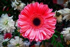 Rosa gerbera och krysantemum royaltyfri foto