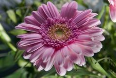 Rosa gerbera i en trädgård Royaltyfria Bilder